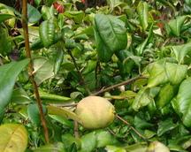 owoc pigwowca