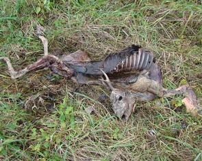 Nieznane są przyczyny śmierci dzikich zwierząt, niestety widok taki spotykamy coraz częściej