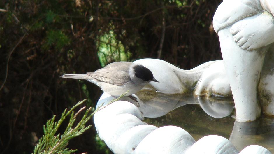 Pokrzewka czarnołbiasta - samczyk