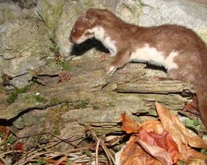 Łasica  -zwierzątko to jest zajadłym tępicielem mysz
