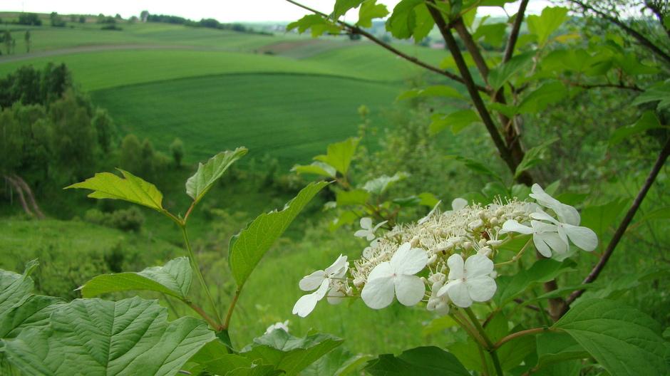 Kwiat Kaliny