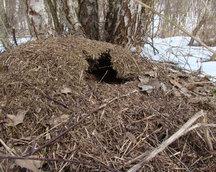 Naruszone mrowisko, czy mrówki przetrwały?