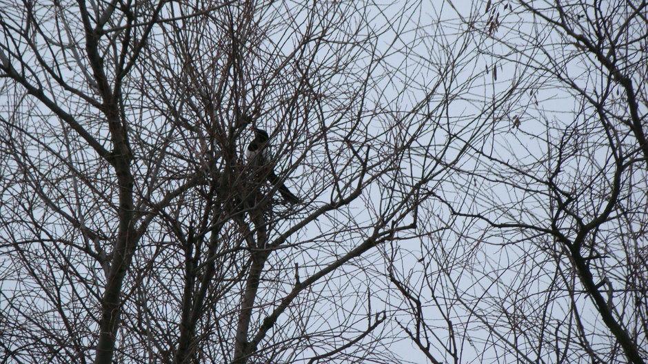 Mimo opadów śniegu sroki budują gniazdo 29.03.2013r.