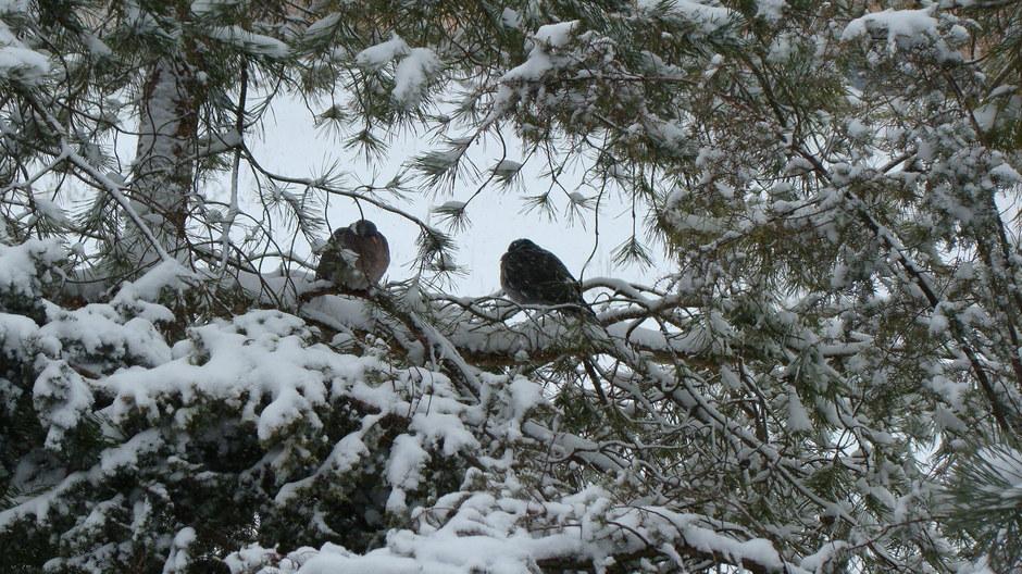 Kolejny atak zimy .Gołębie grzywacze od 4 godz cierpliwie przeczekują opady śniegu 03,04 ,2013r