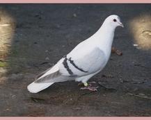 Turyńska Czajka - Niebieskopłowa