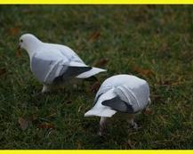 Turyńska Czajka - Niebieska z białymi pasami