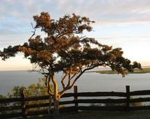Piękne drzewo głogu