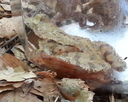 Żaba leśna