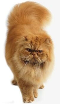 Koty Perskie Kotki