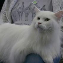 Cat Show: SKMKR - Jaworzno  Date: 2014-04-05/06  zdjęcia wykonane przez http://szunaj.flog.pl