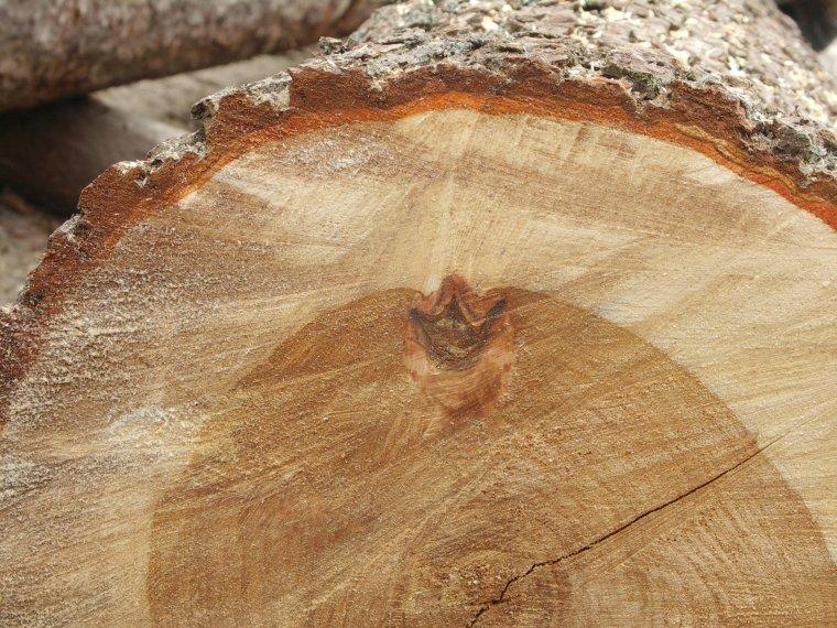 czerwonawobrunatny kolor twardzieli w drewnie sosny pospolitej