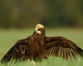 Błotniak Stawowy ptak młody