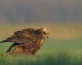 Błotniak stawowy-samica