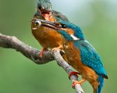 Parka- samiec karmiący samiczkę