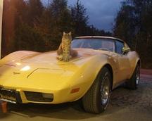 Samochodowy kot